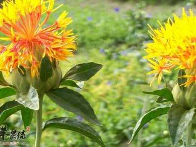服用藏红花对于人体的三大帮助 养生保健吃西红花