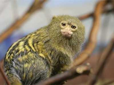 世界最小的猴子 侏儒狨