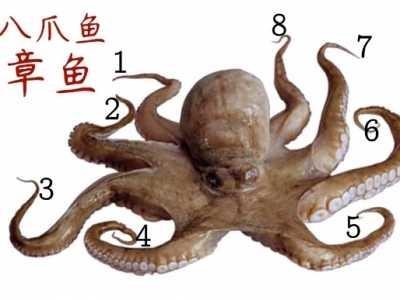 章鱼、乌贼、鱿鱼、八爪鱼的区别 乌贼和章鱼的区别