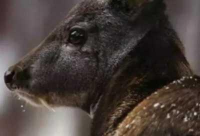 探险者发现长着獠牙的麋鹿 吸血鬼鹿