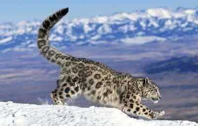 世界上排名前10位的猫科动物 世界凶猛的动物排行榜