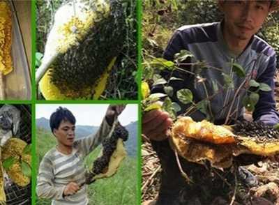 野生蜂蜜和人工养殖的蜂蜜有什幺不一样 野生蜂蜜和家养蜂蜜